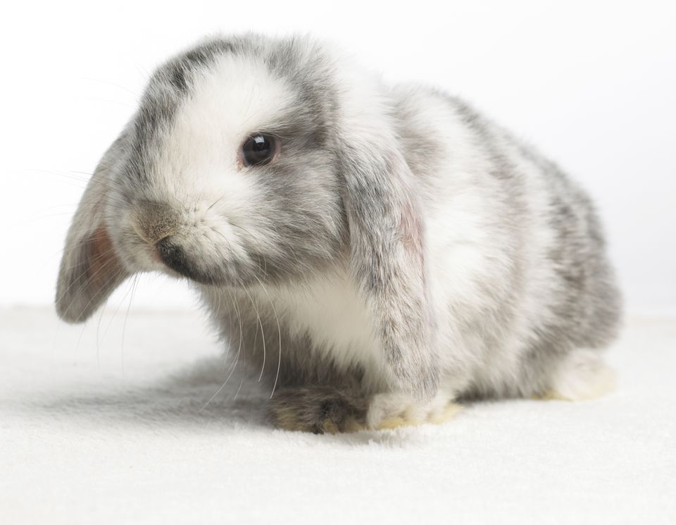 Pet rabbit that's gray and white
