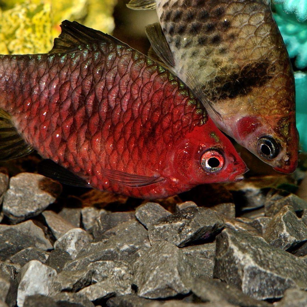 Black Ruby Barb Purple Headed Barb Fish Species Profile