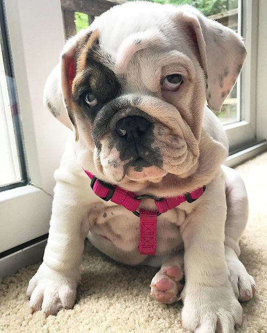 Cute bulldog in pink collar
