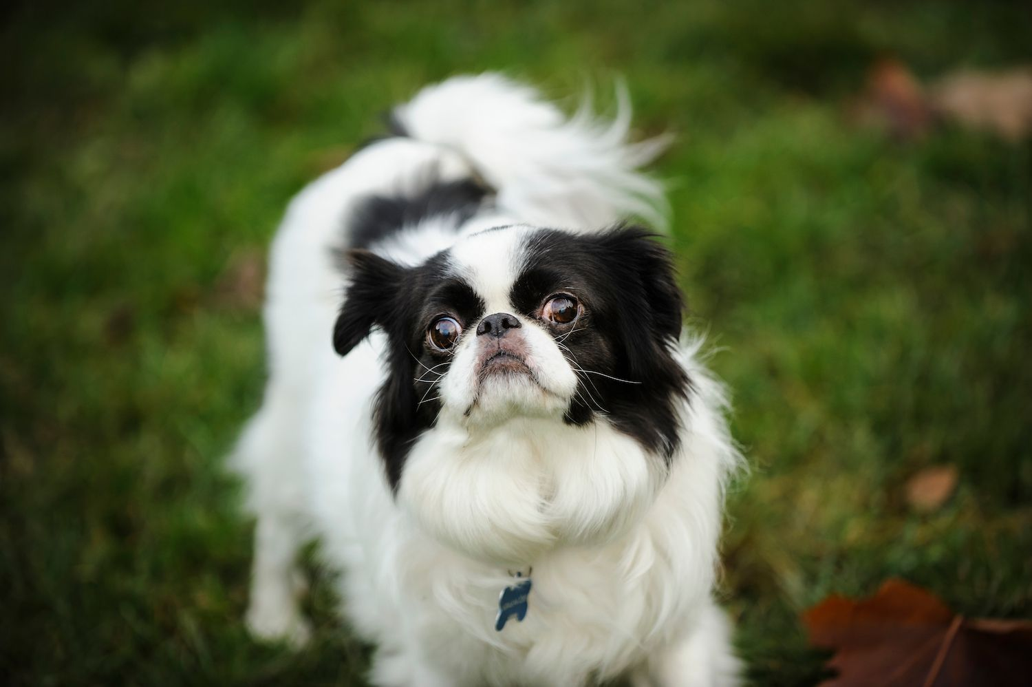 toy group - japanese chin