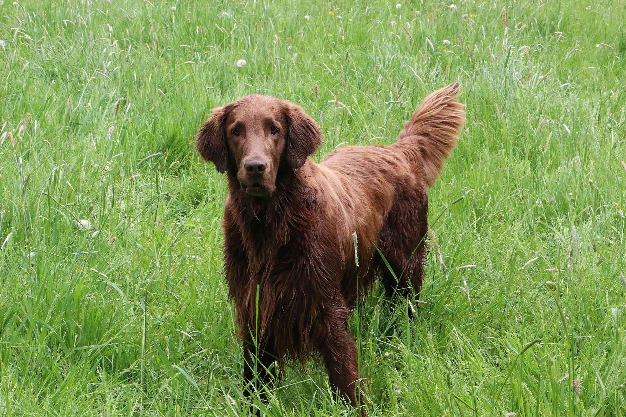 Brown Flat-Coated Retriever adult in grass.