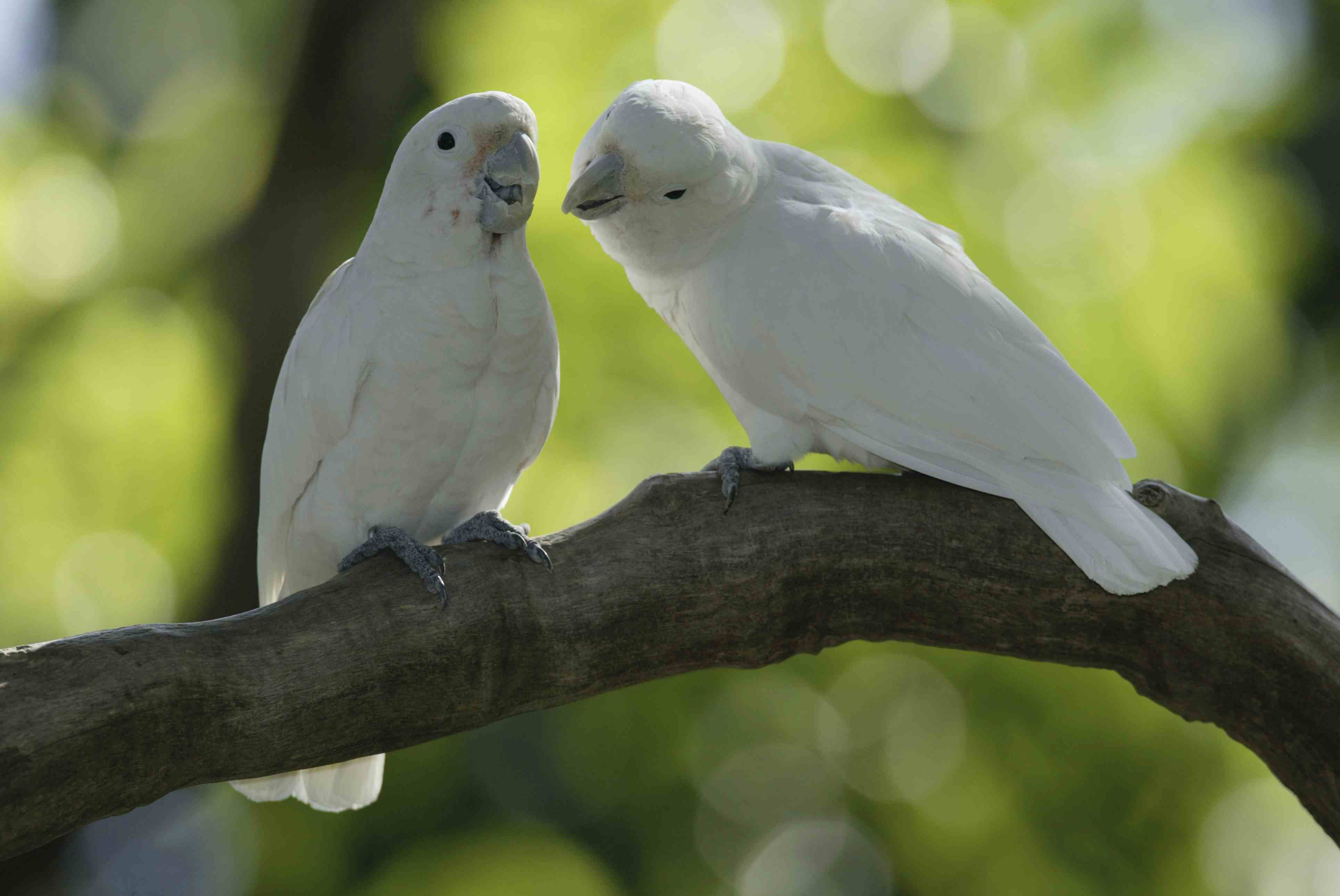 Goffin's cockatoo pair in a tree