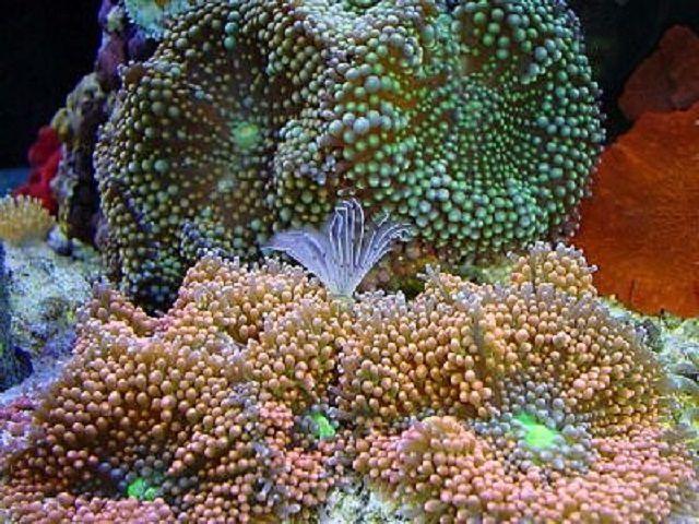 (Ricordea floridea) Mushroom Corals