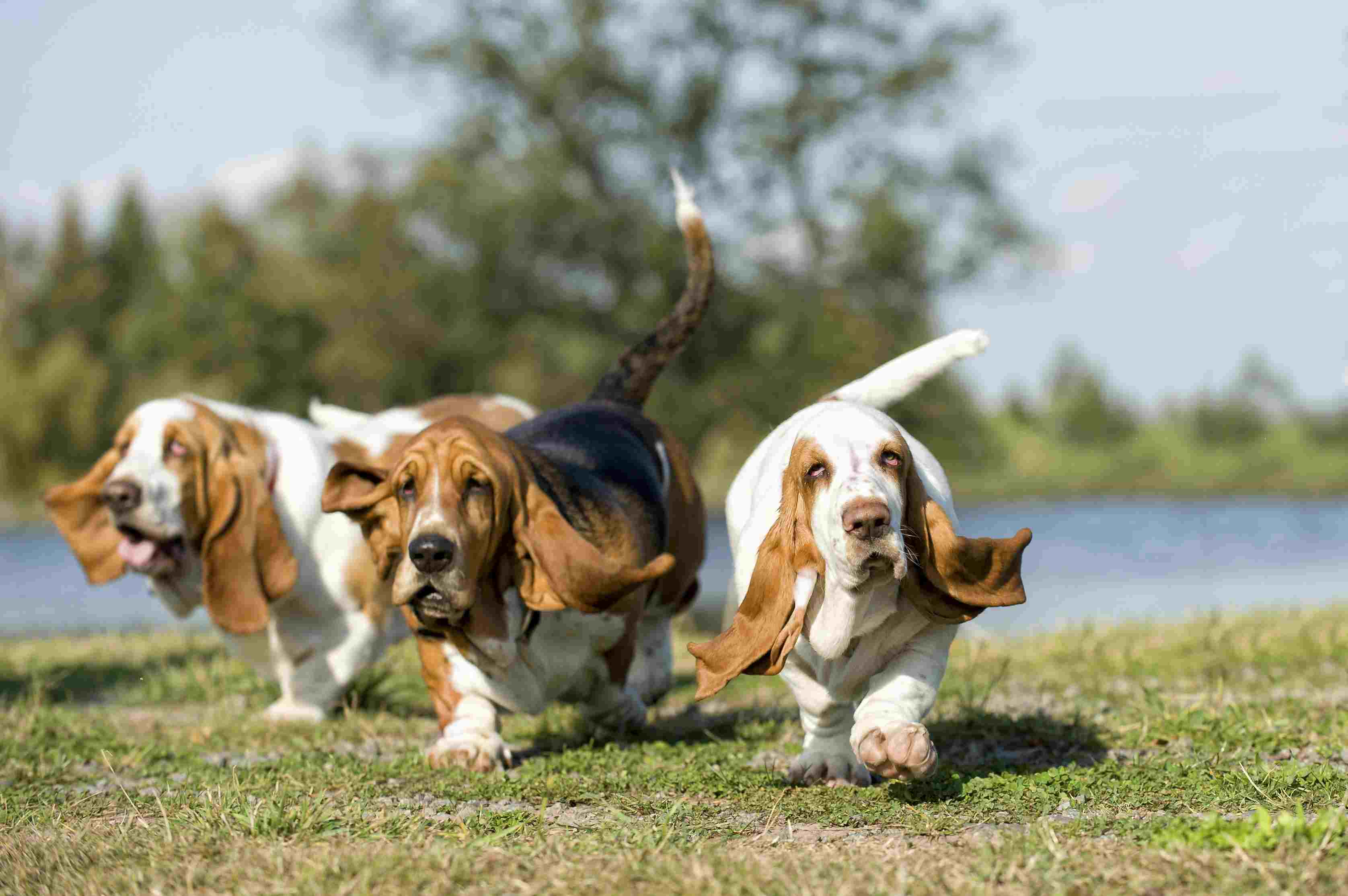 Obese basset hounds