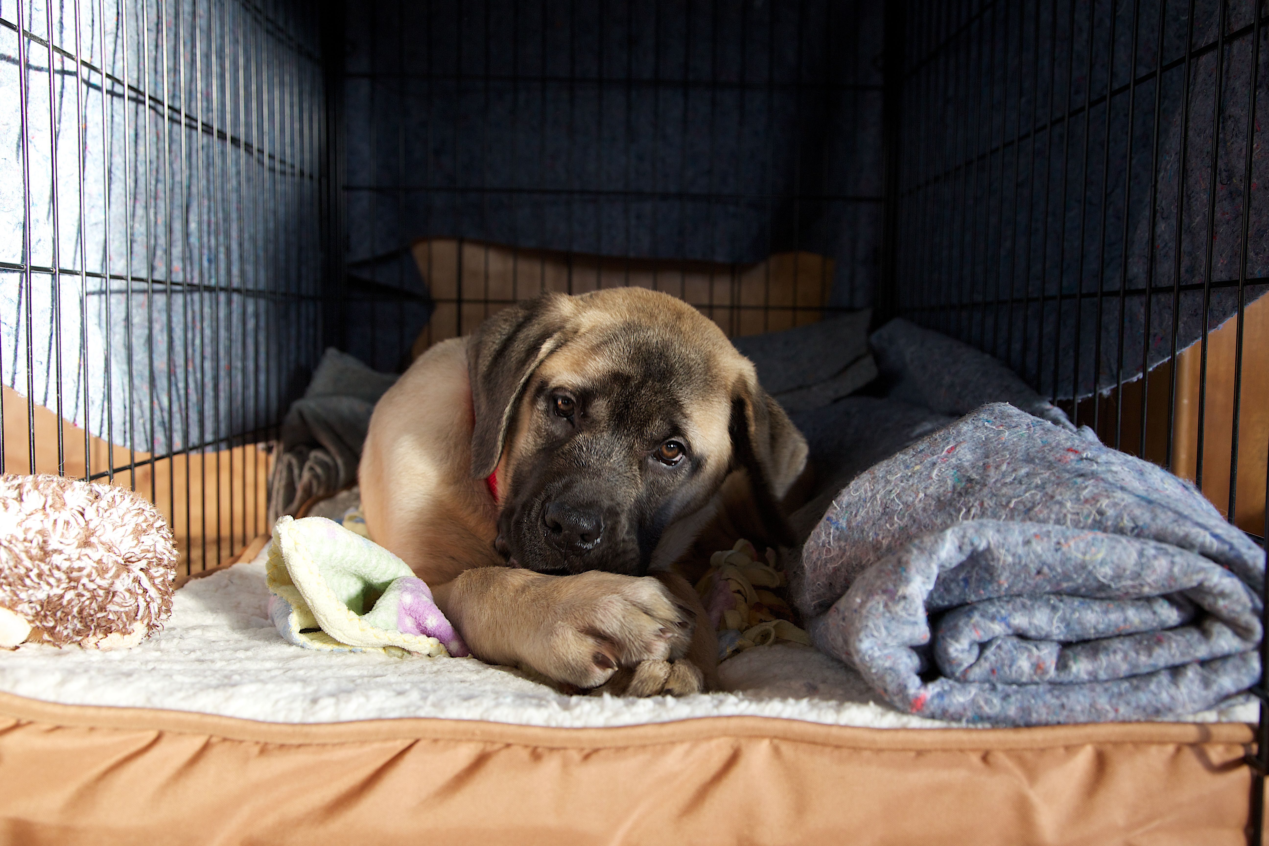 Portrait of puppy lying in cage, Montana, USA