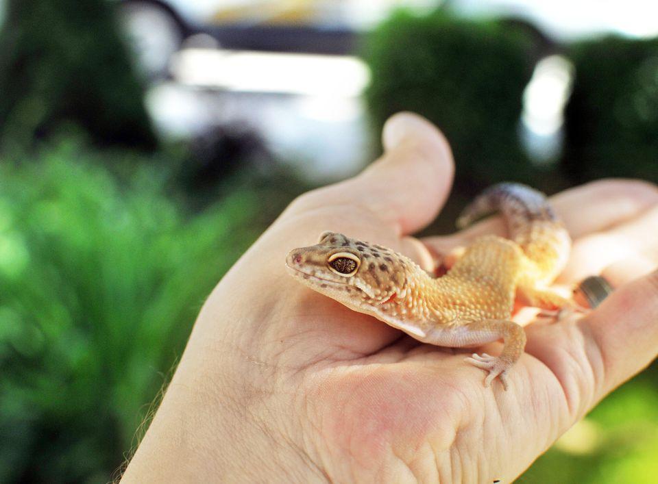 Leopard gecko on a hand outside.