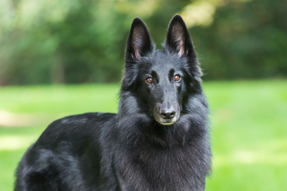 belgian sheepdog looking at camera