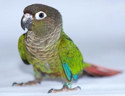 Green cheek conure bird standing.
