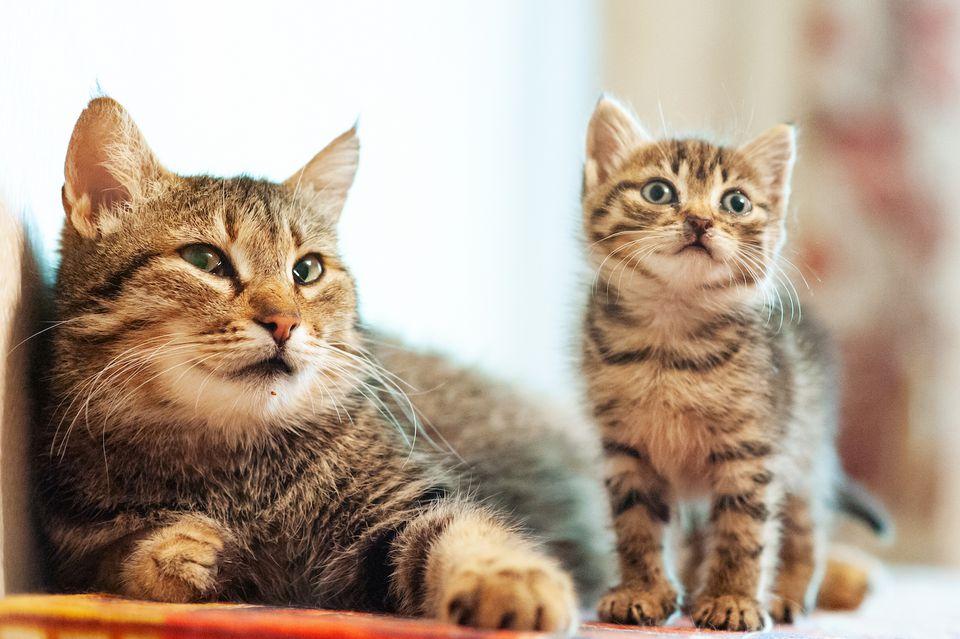 madre gato atigrado con gatito