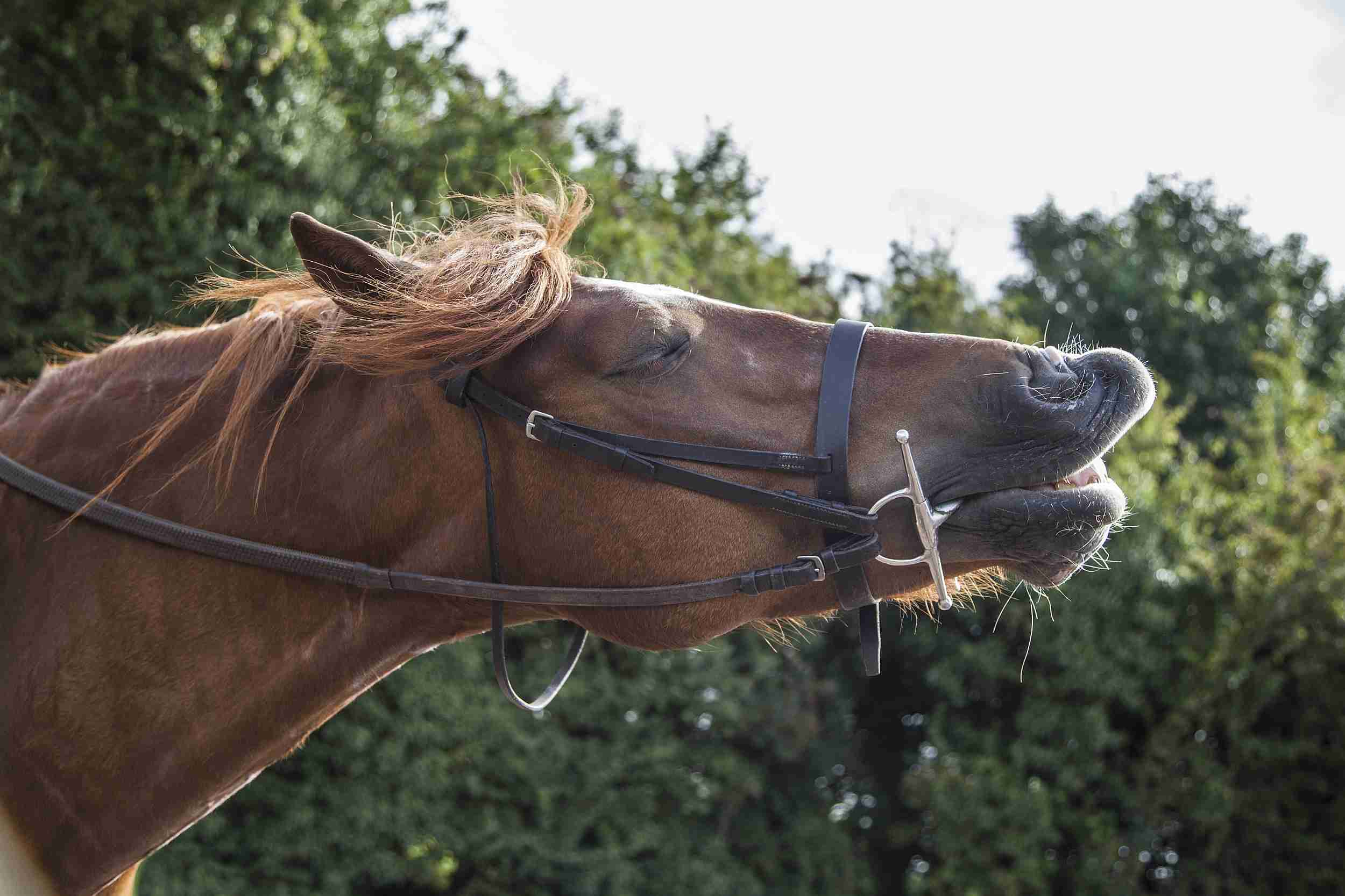 Horse wearing an English bridle.
