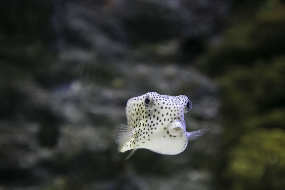 Cute Puffer Fish with Black and White Spots