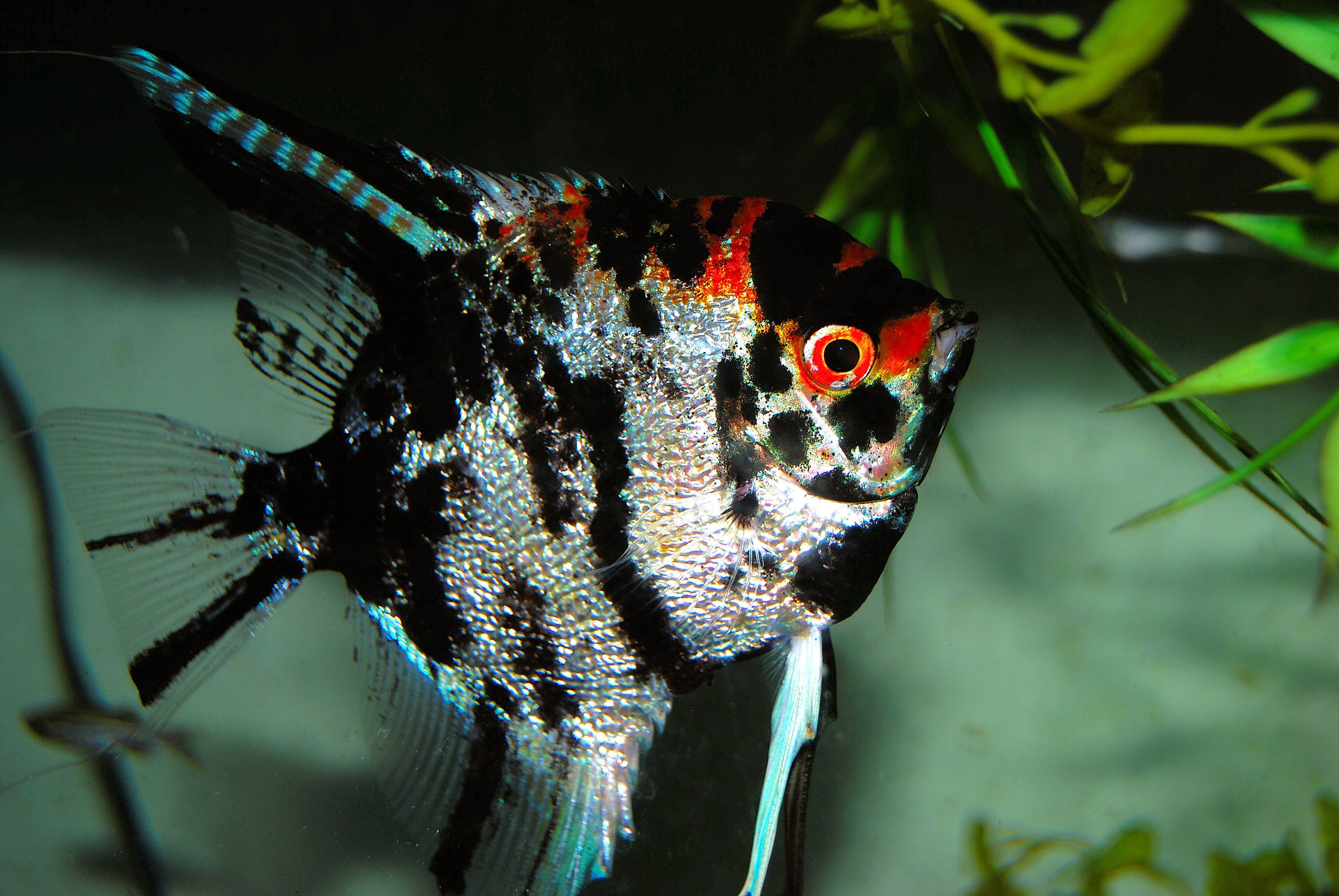 Which Live Plants Are Good For Angelfish