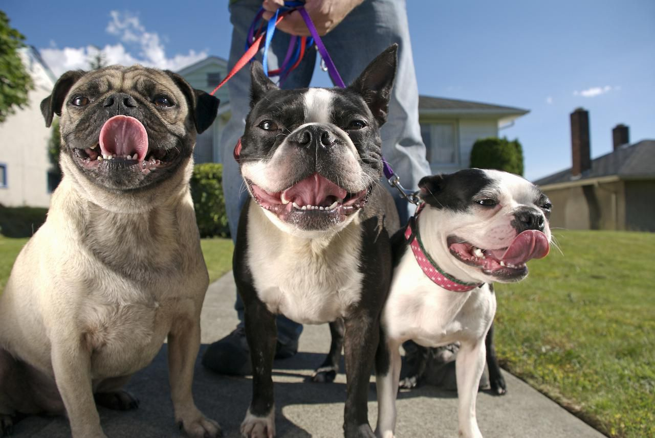 Three pugs on leashes