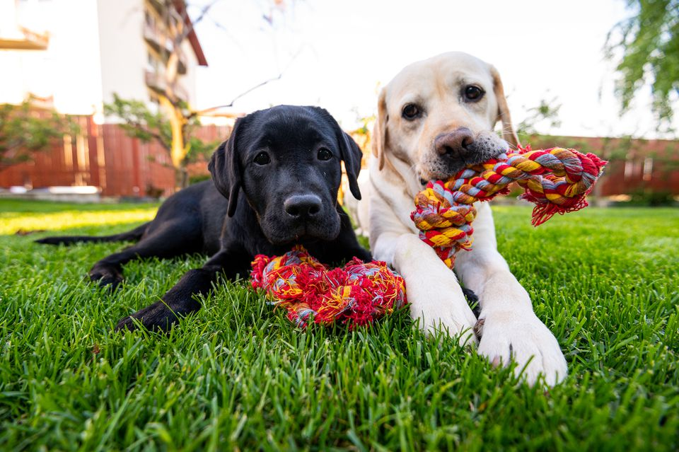 Black Lab and Yellow Lab puppies playing outside with a rope toy