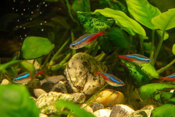 Neon Tetras in Planted Fish Tank