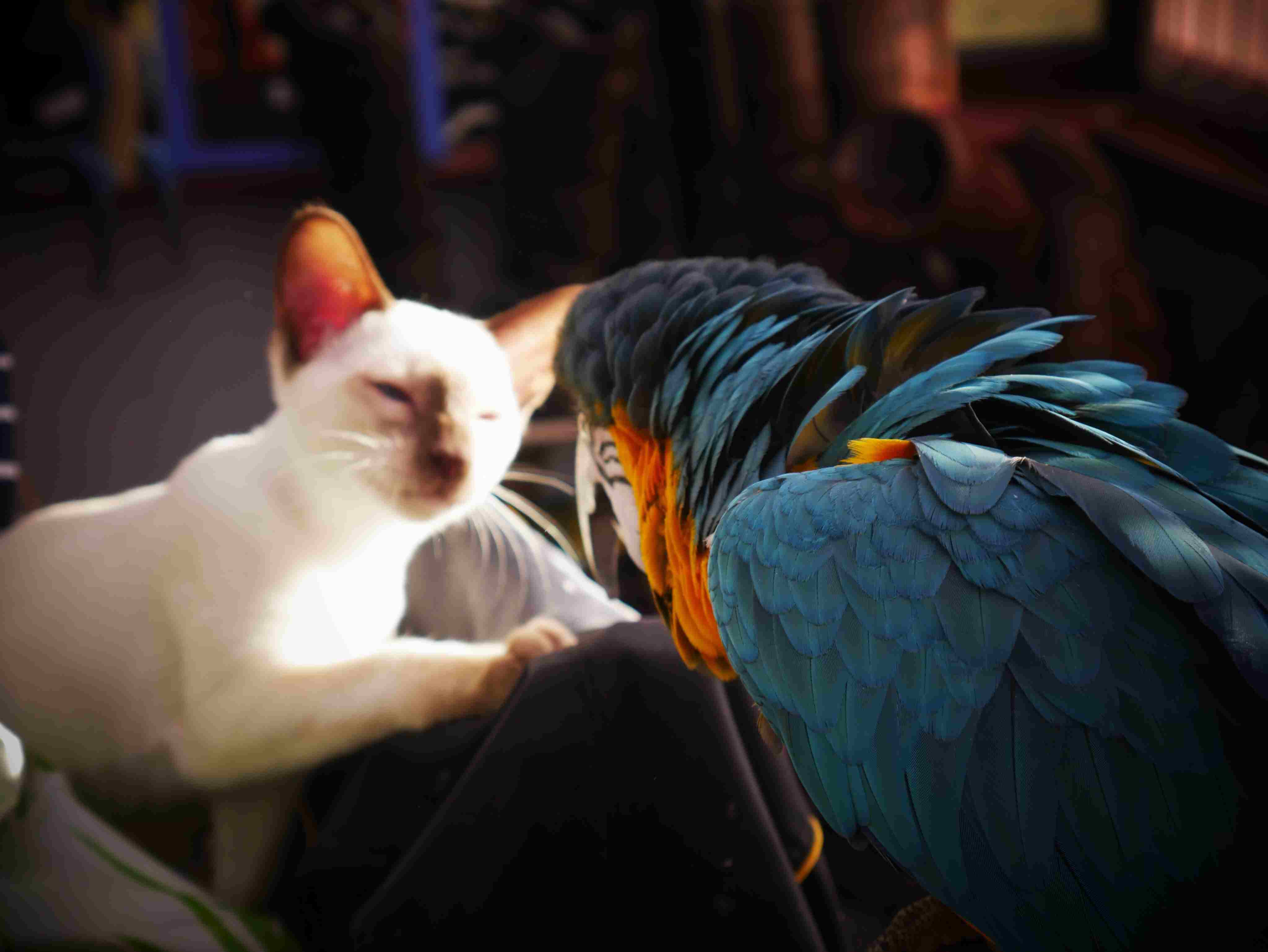 Close-Up Of Parrot Looking At Cat
