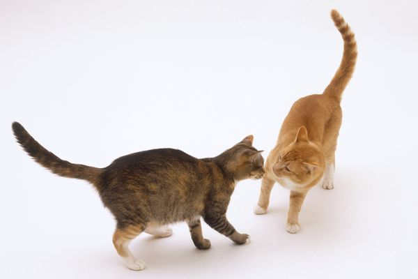Male ginger and white cat and tortoiseshell and white cat face to face