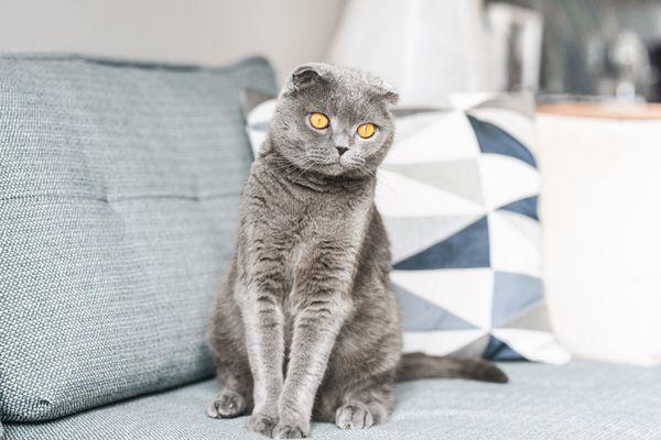 Gray Scottish fold cat with orange eyes sitting on light blue couch
