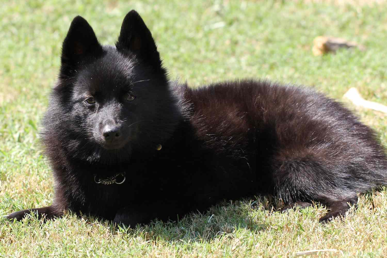 black finnish spitz
