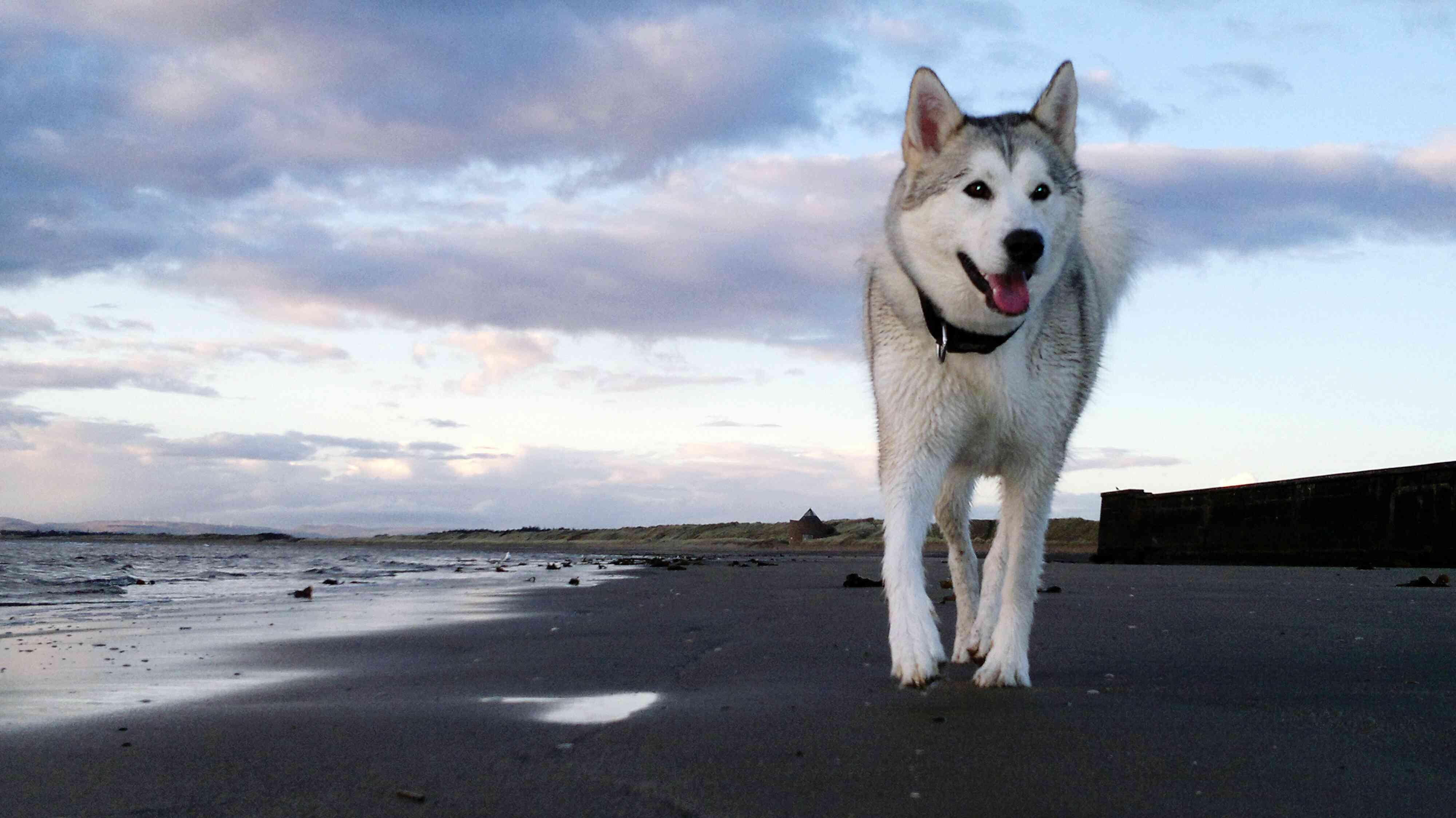 A Siberian husky running on a beach