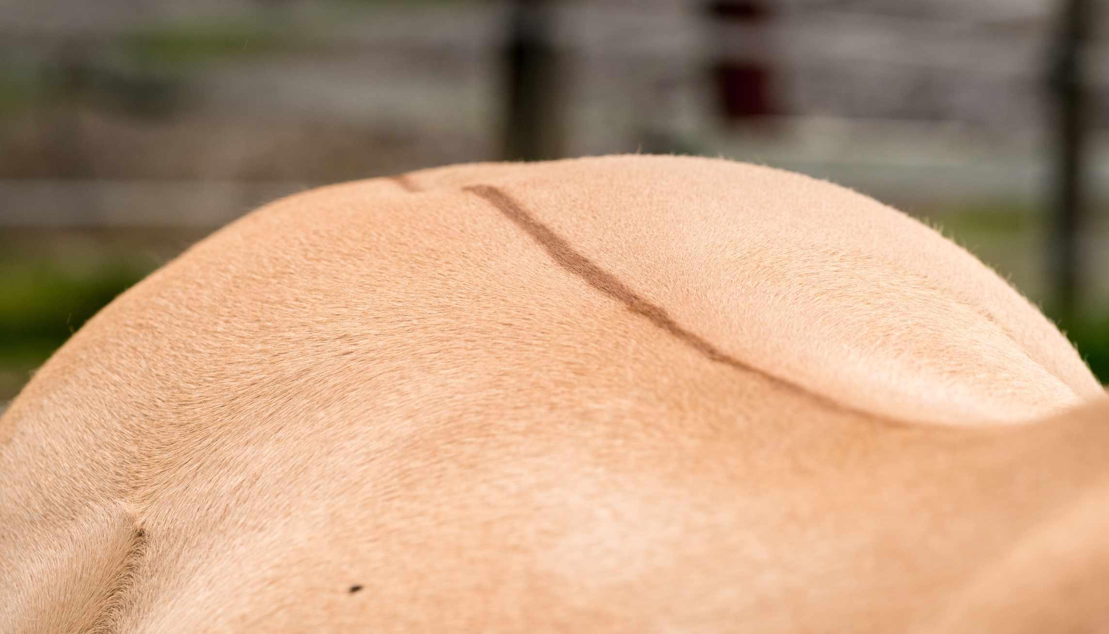 Una foto detallada de una franja dorsal en un fiordo