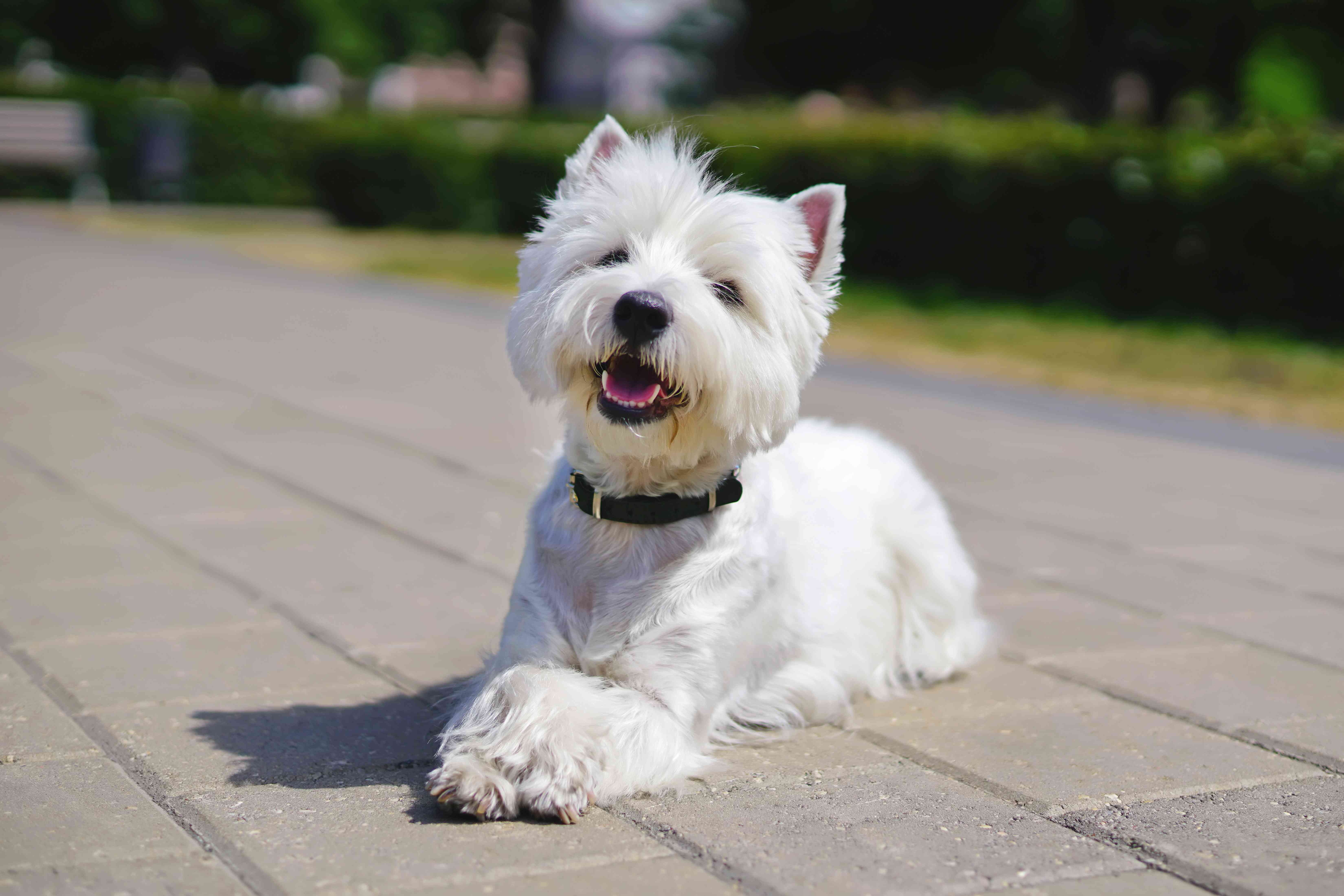 Happy West Highland White Terrier dog lying outdoors on tiles with its paws crossed in a city park in summer