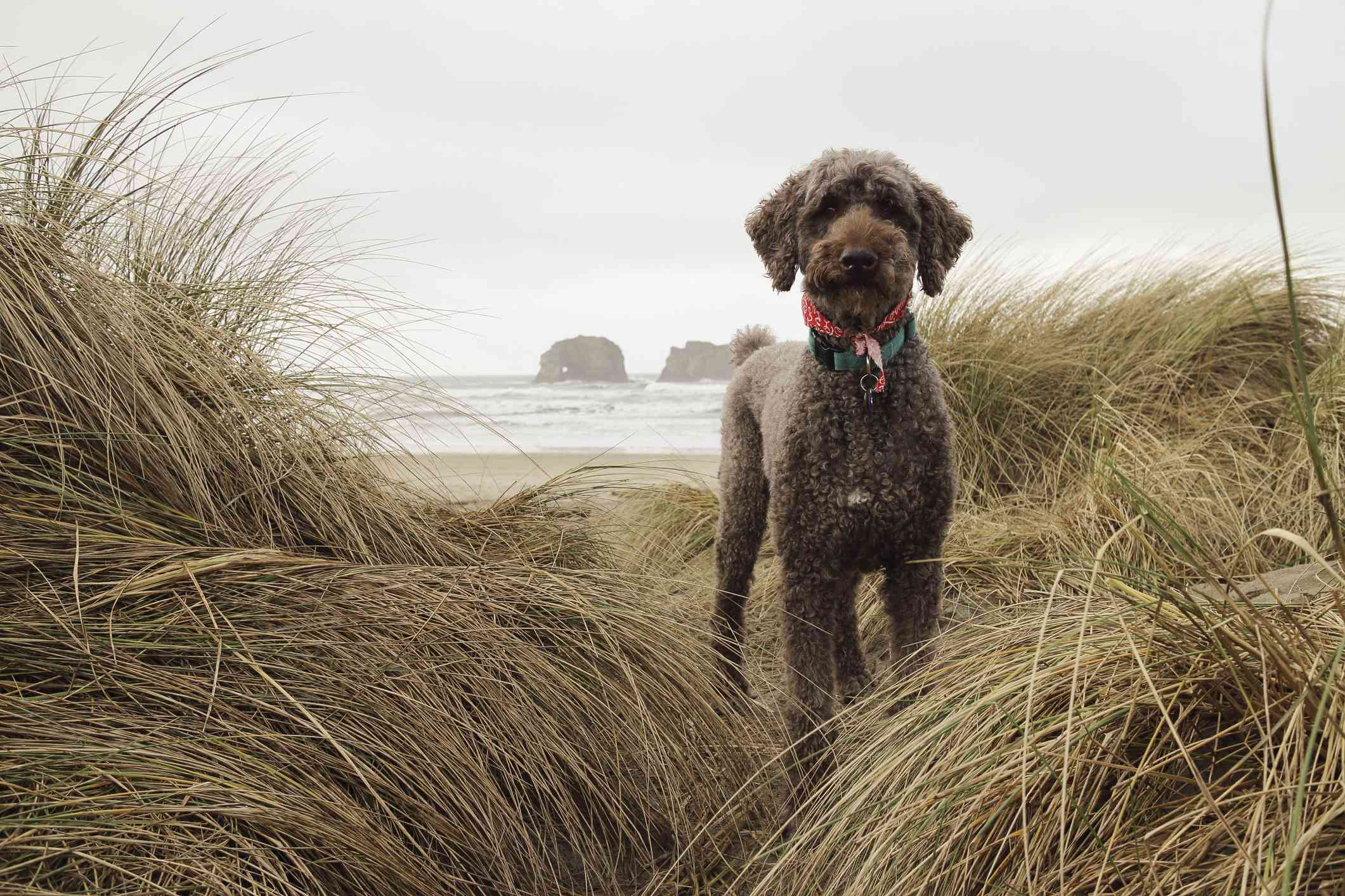 Brown standard poodle standing in the dunes in front of the sea