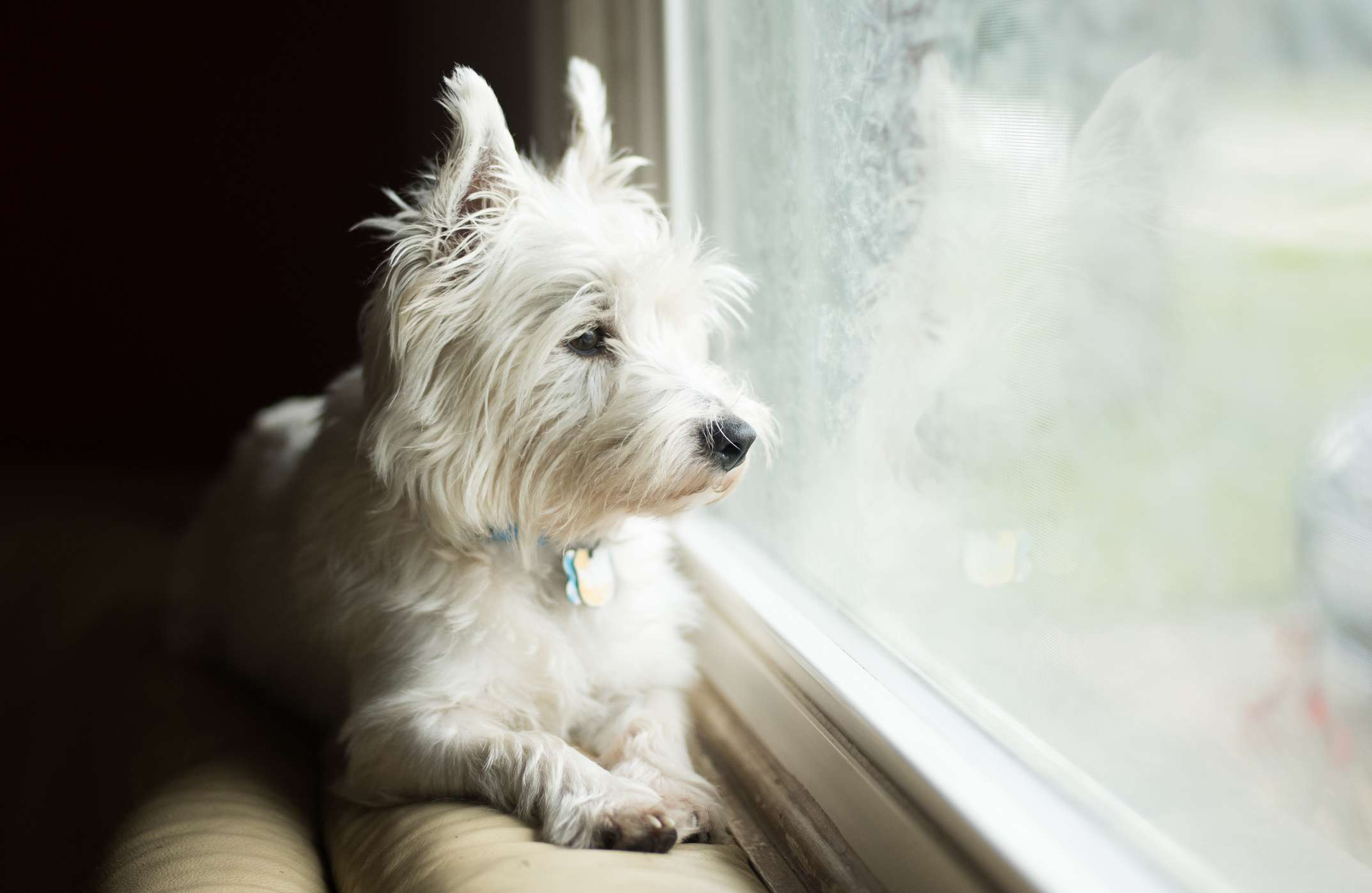 A white dog with pointy ears looking out a window.