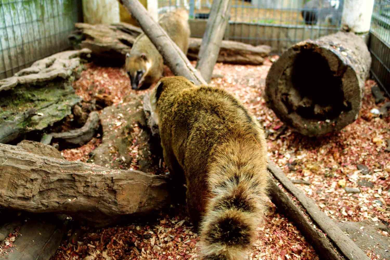 Coatimundi raccoons in enclosed habitat with wooden fixtures