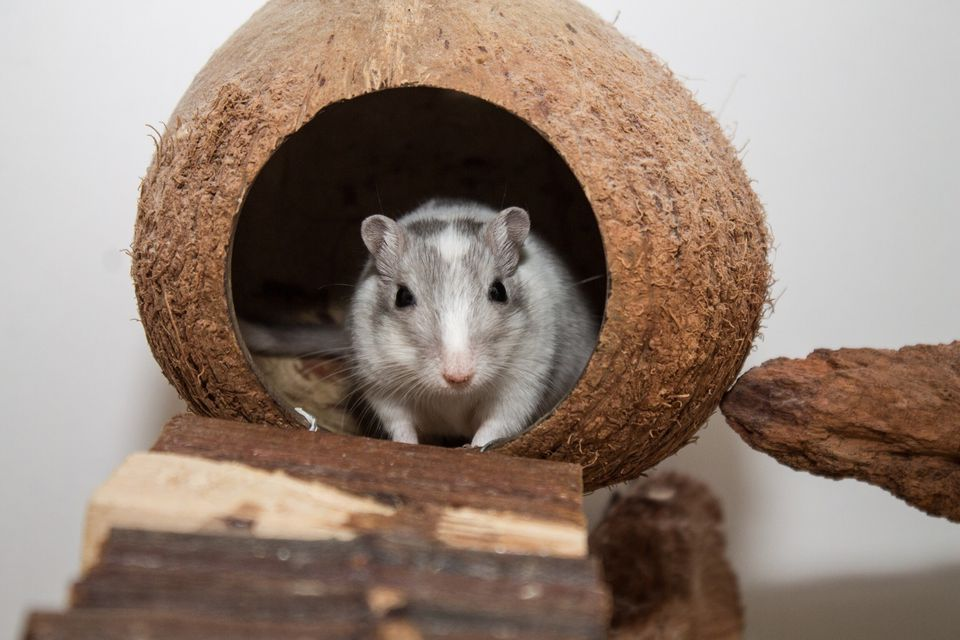 Portrait Of Gerbil In Coconut Shell