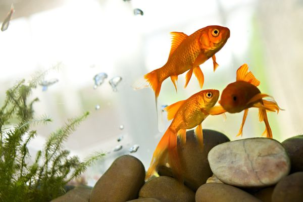 Goldfish swimming in tank