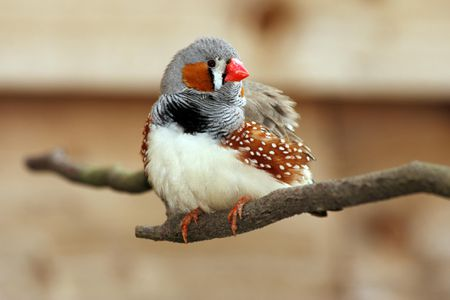 Zebra Finch Bird Species Profile