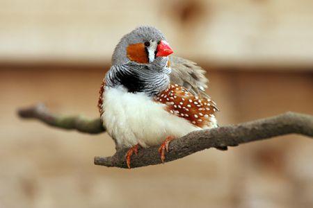 a256700b1e Zebra Finch Bird Species Profile