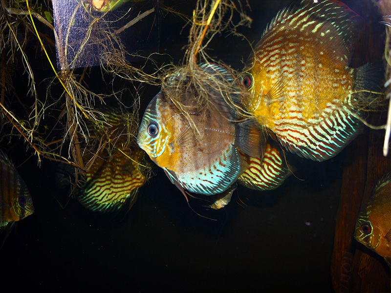 Group of young discus fish