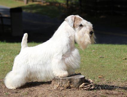 Champion Sealyham Terrier