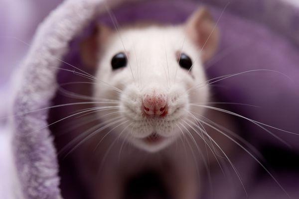 Pet white rat