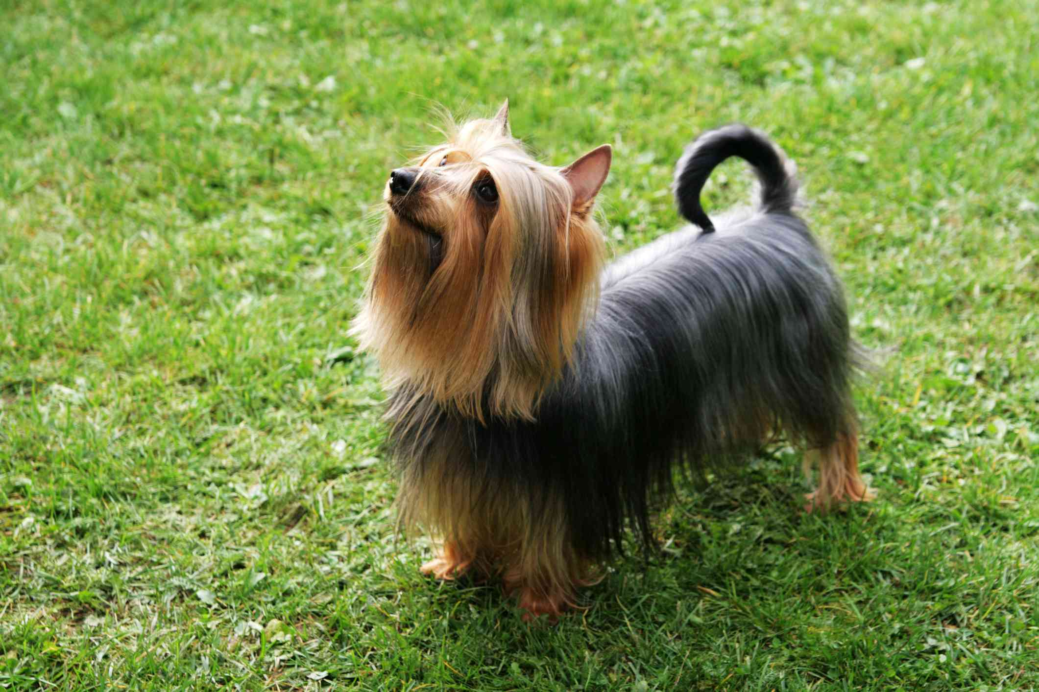 Silky Terrier dog outside in grass.