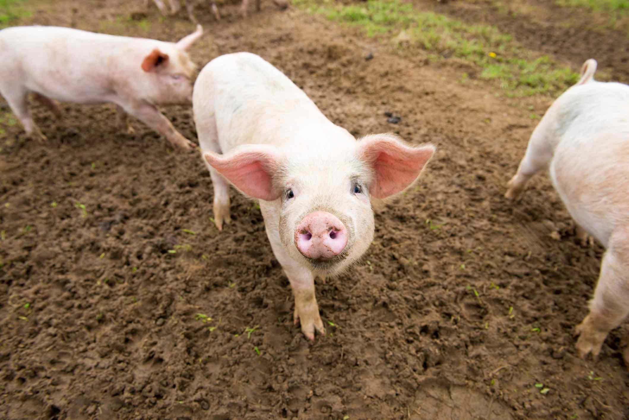 Pigs in Farm