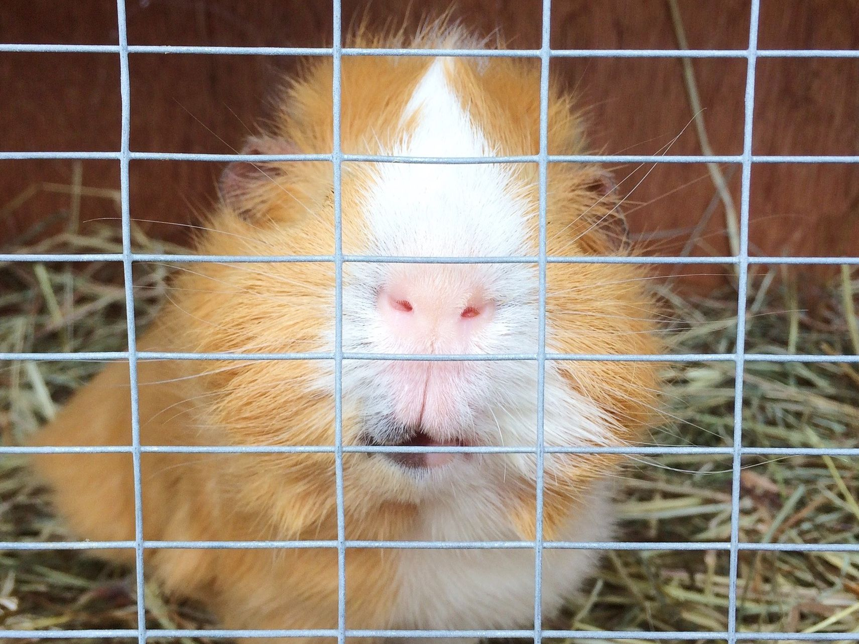 Picture of: Homemade Guinea Pig Cages