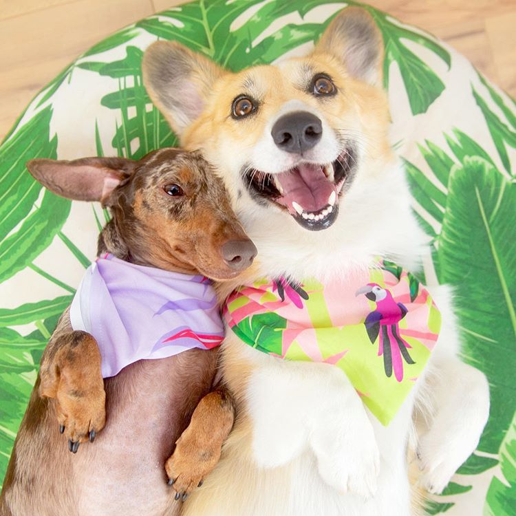 A dachshund and corgi wearing bandannas and laying on their backs.