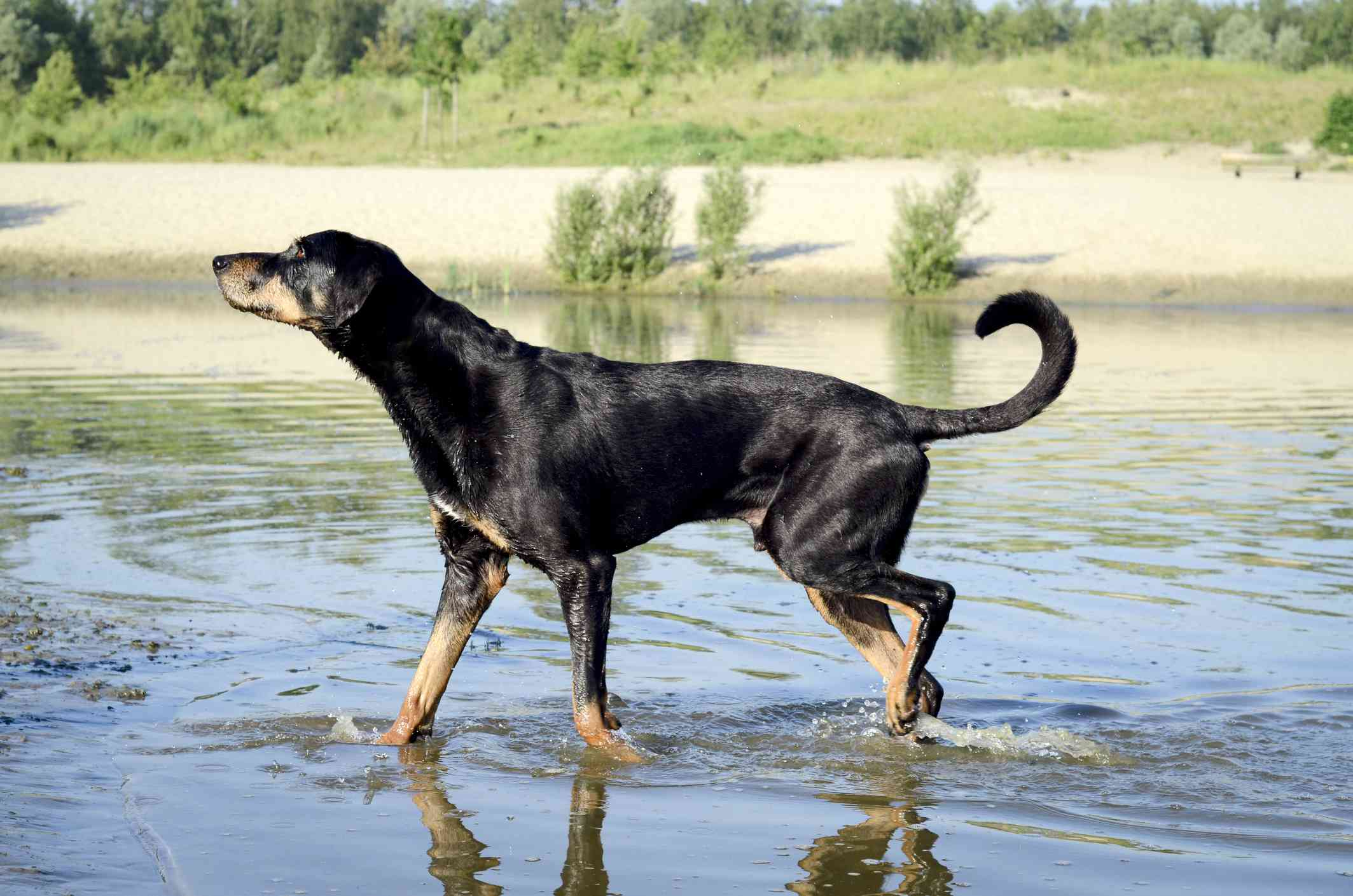 Translyvanian hound in water