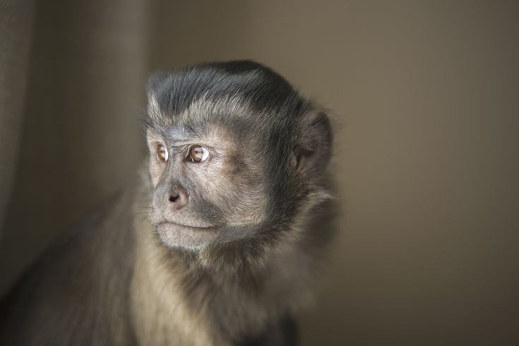 Keeping and Caring for Pet Capuchin Monkeys