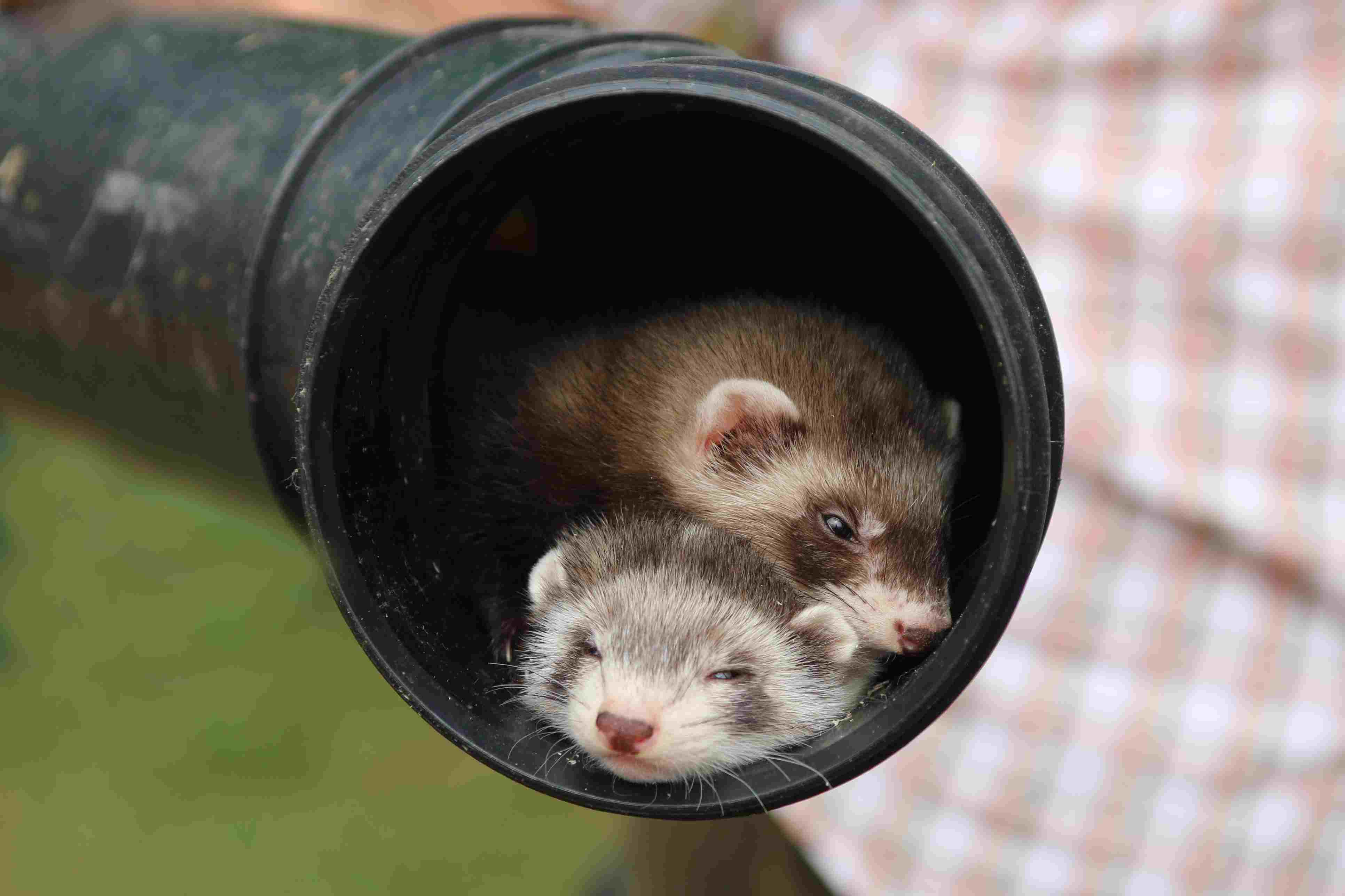 Two ferrets in a pipe