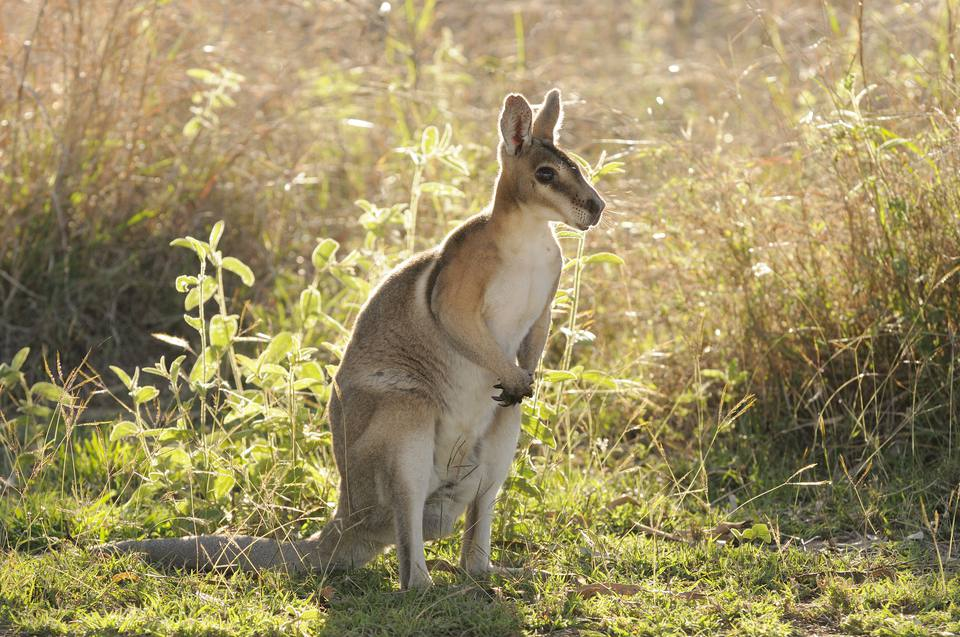 Wallaby en un campo