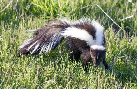 keeping and caring for skunks as pets
