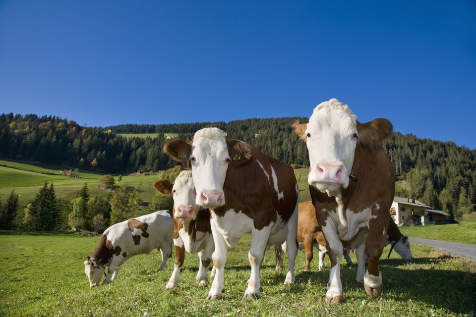 Vacas en pastoreo en Trentino-Alto Adige