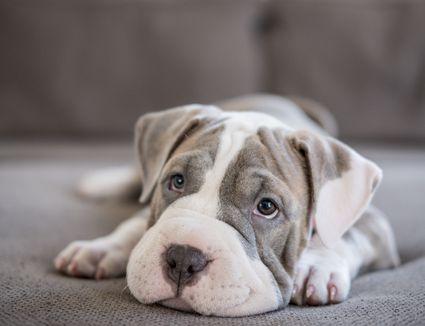 Shar-Pei Pitbull puppy