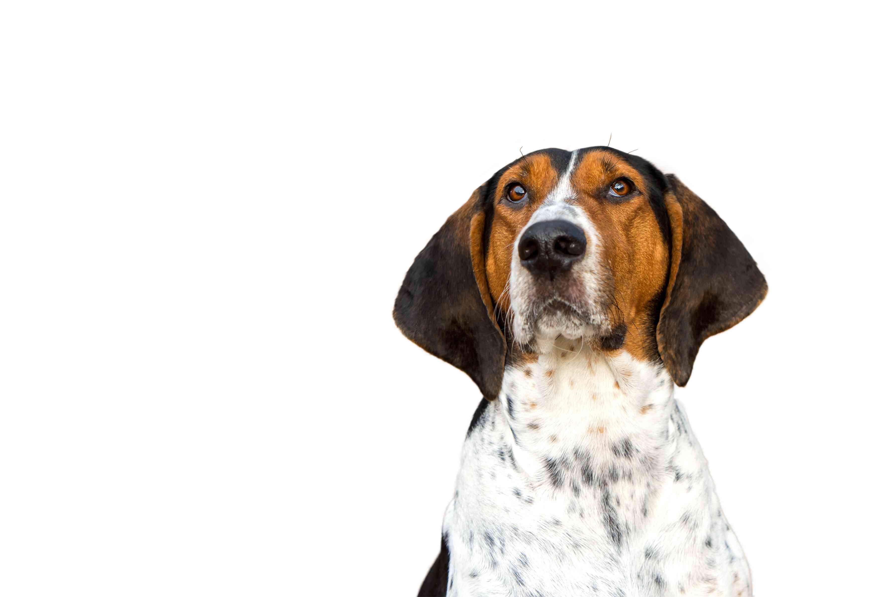 Adult Young Treeing Walker Coonhound headshot