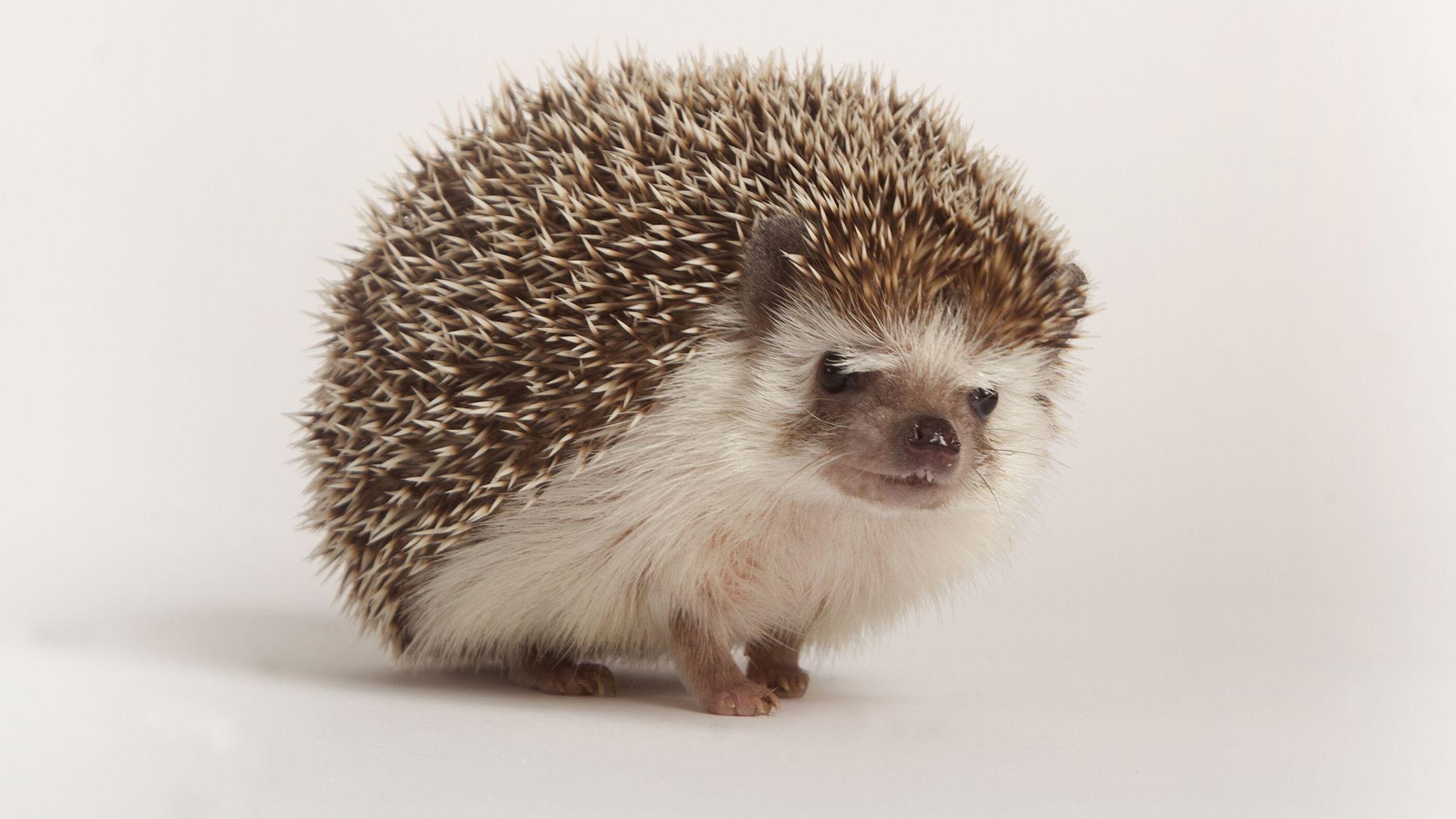 How To Care For Pet Hedgehogs Basic Hedgehog Care Guide