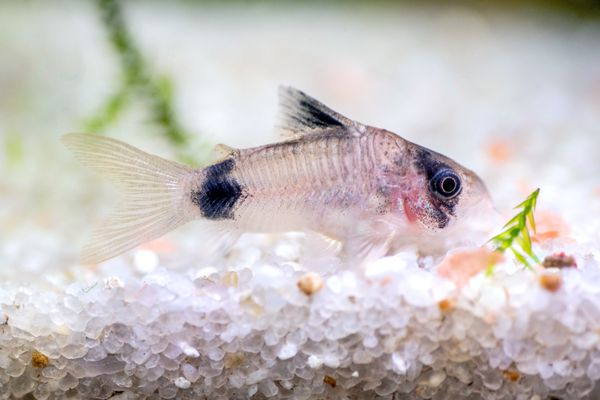 Cory catfish swimming in aquarium tank with white pebbles